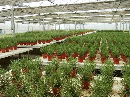 上海郊区的芳香植物种植基地